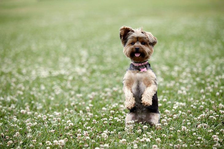 beautiful yorkie out in a meadow