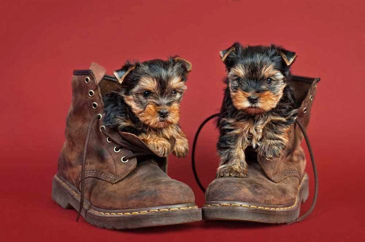 two yorkies in a pair of boots