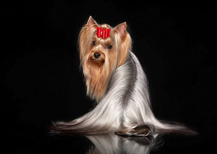 perfectly groomed yorkie