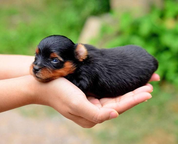 yorkie newborn puppy