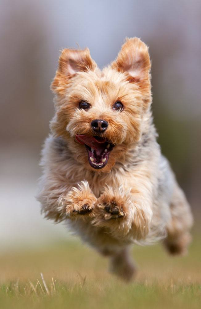 yorkshire terrier being called for dinner