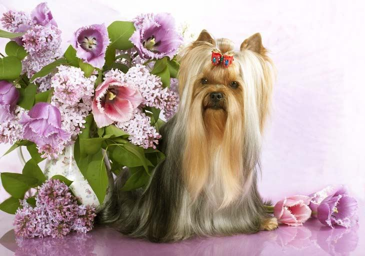 yorkshire terrier surrounded by flowers
