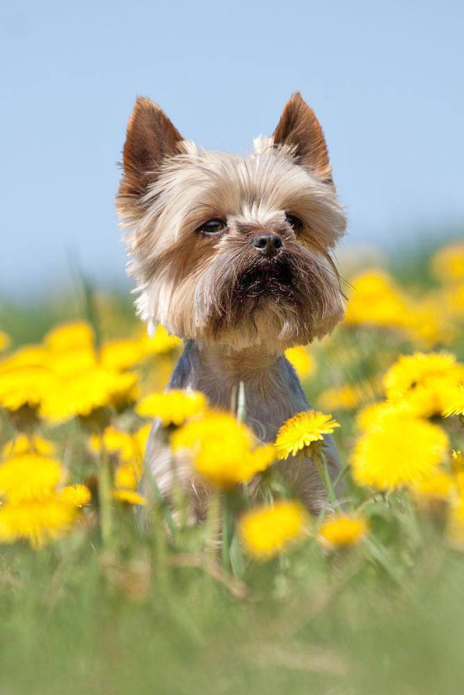 yorkie enjoying nature