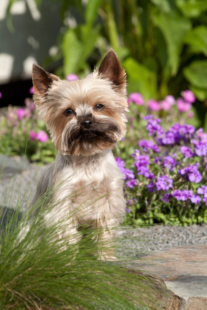 yorkshire terrier dog taking a walk in the garden
