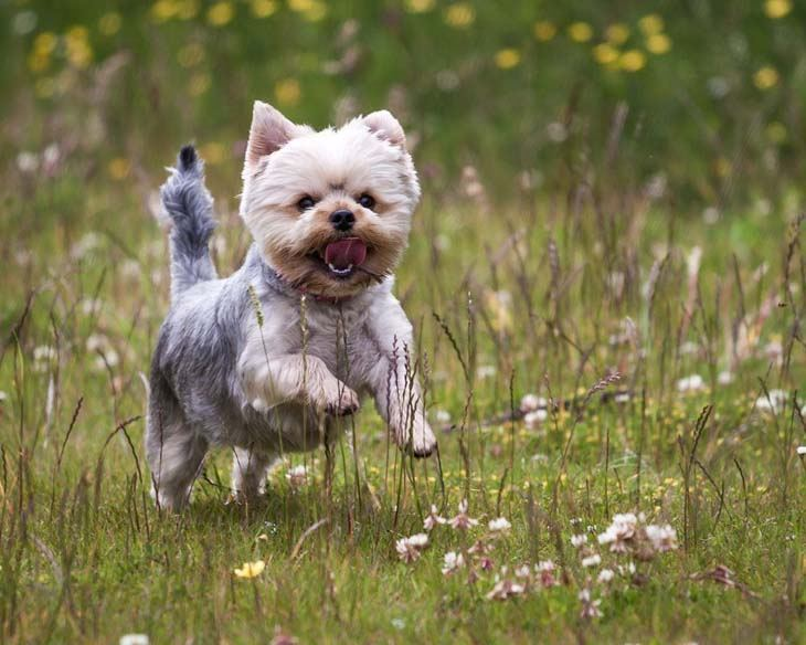 yorkie chasing butterflies in a field