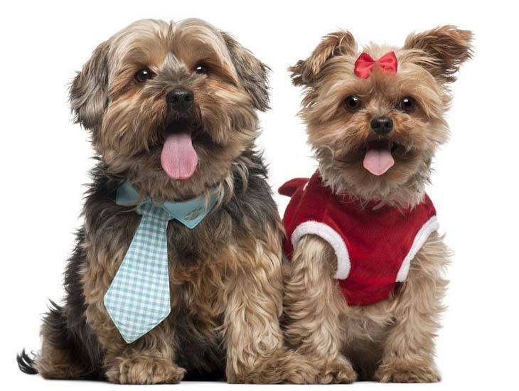 two yorkies dressed up