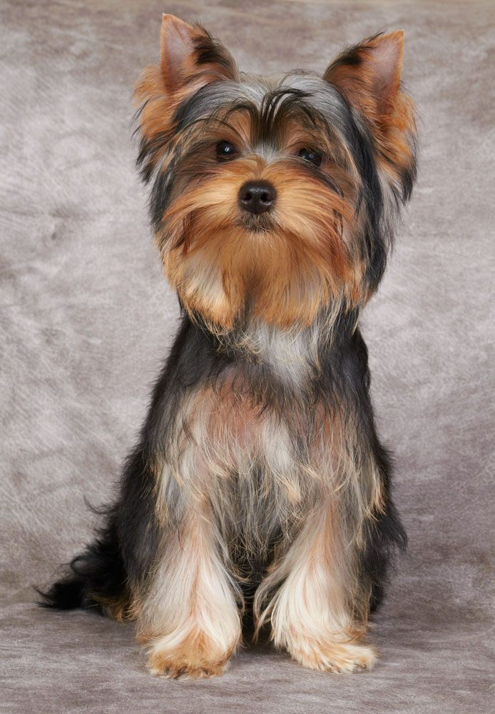 adorable yorkie waiting for anything to happen