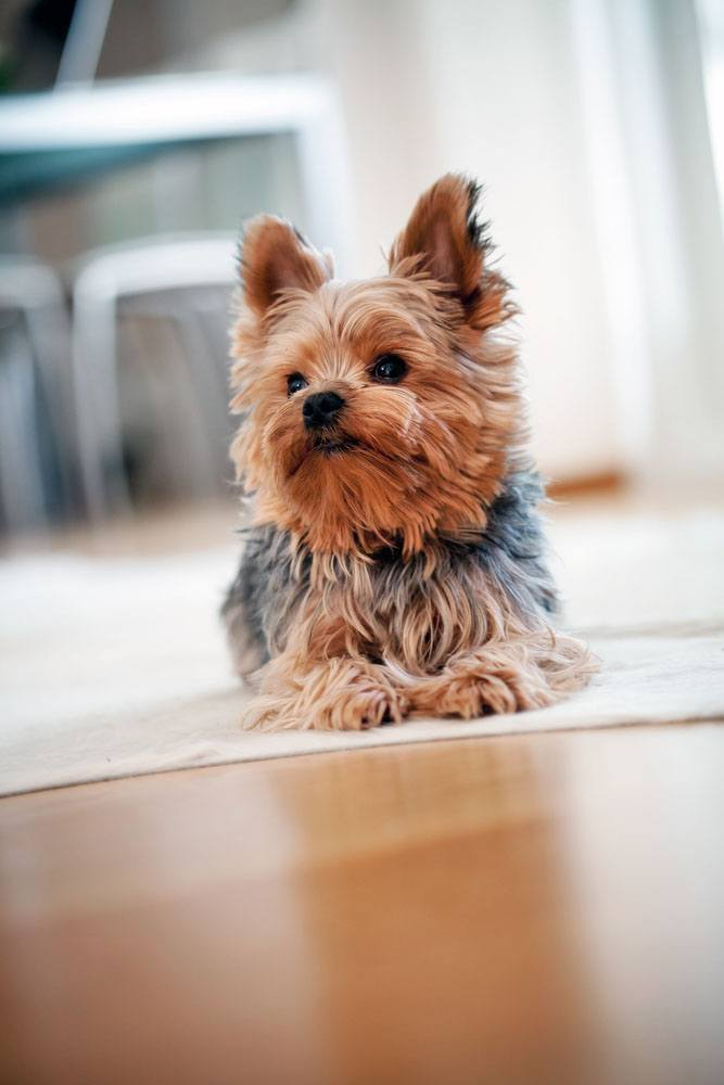 Beautiful Yorkshire Terrier Dog Pictures