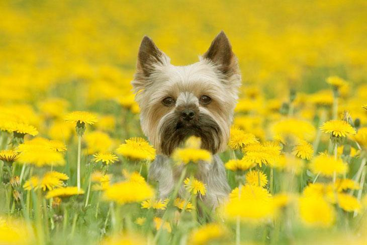 yorkie in a flower field