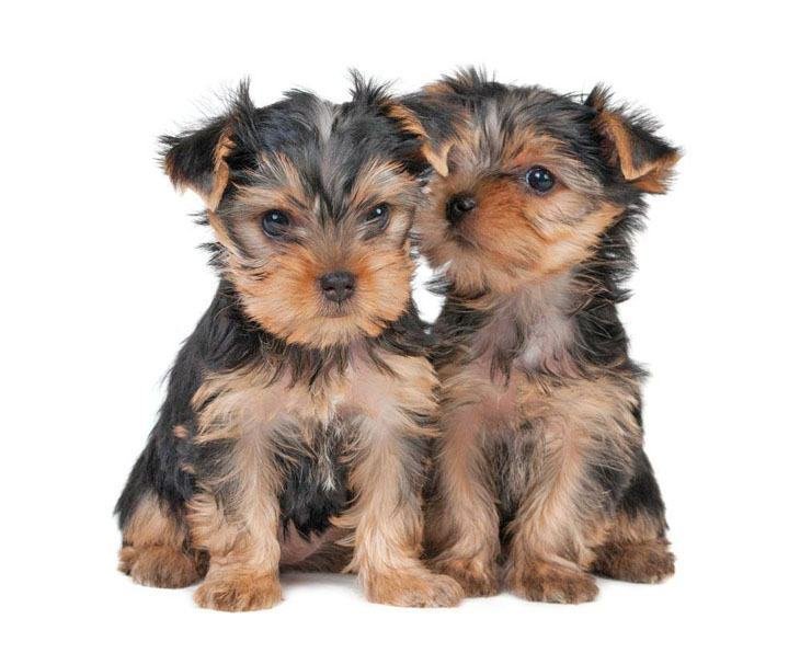 two cute yorkie puppies