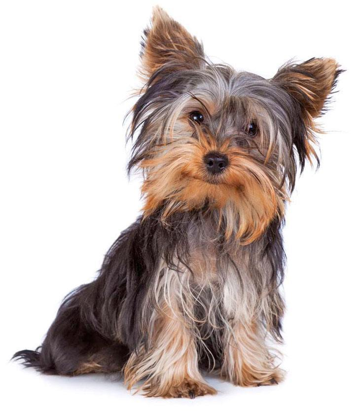 yorkshire terrier hoping for a treat