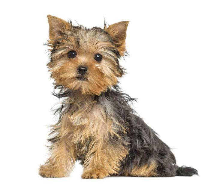 charming yorkie dog posing for the camera