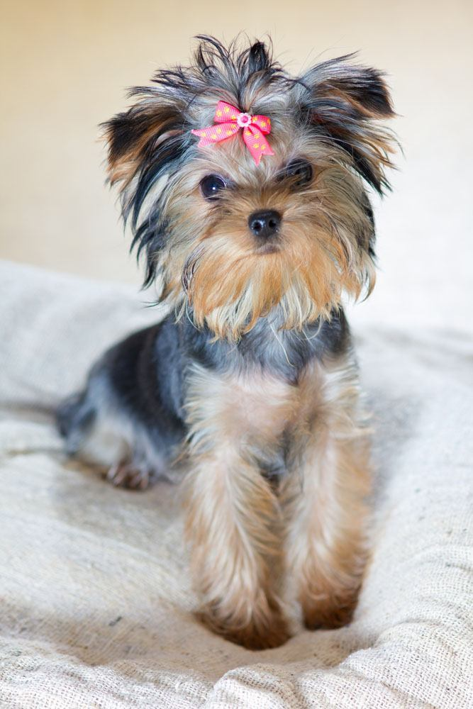 cute yorkie pup waiting for a treat