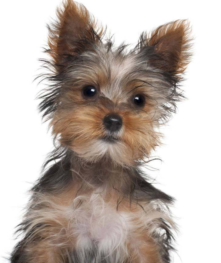 bored yorkshire terrier puppy