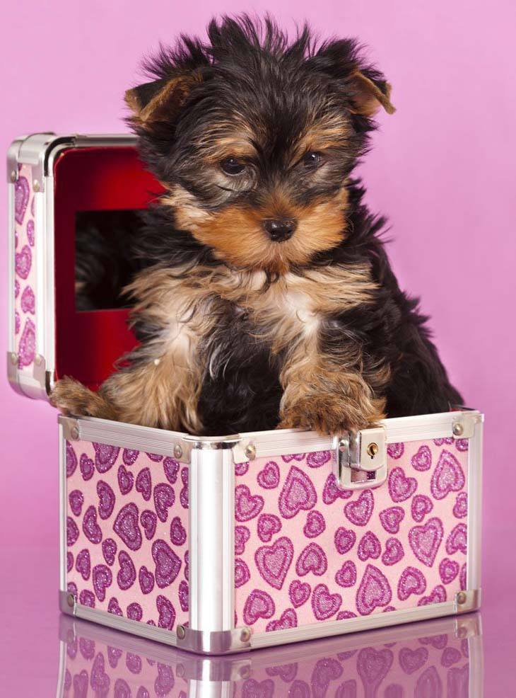 cute yorkie puppy hiding in a box