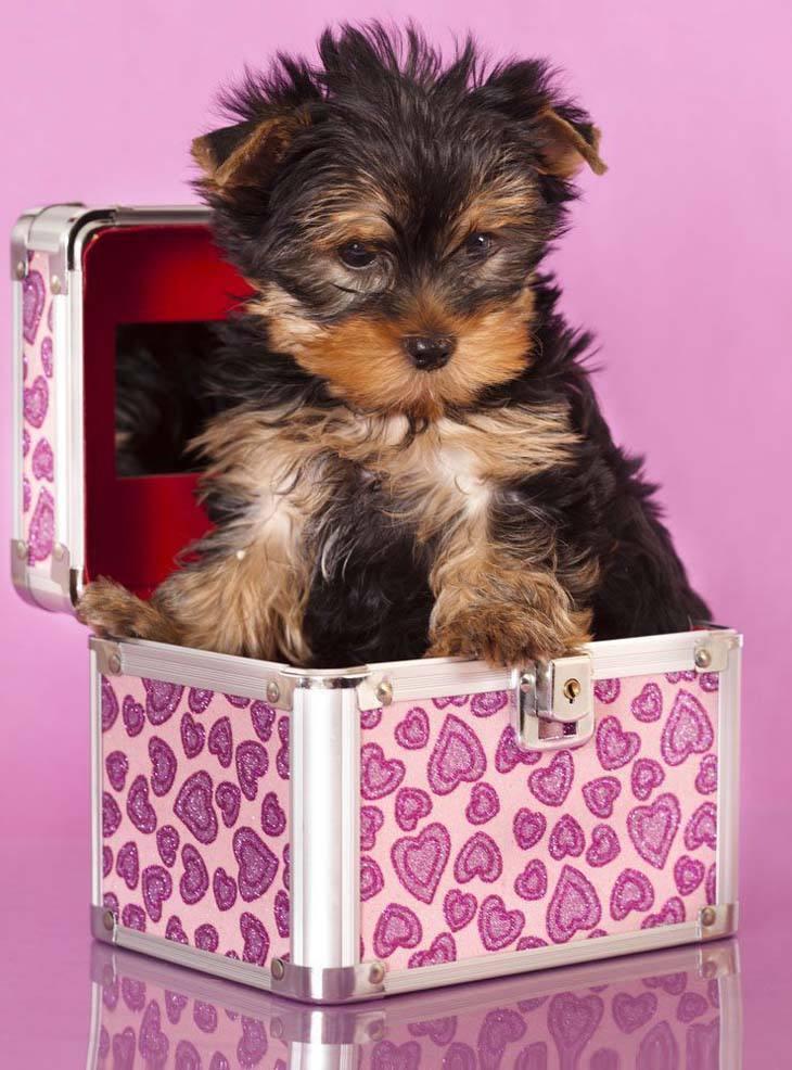cute yorkie puppy hiding in a box