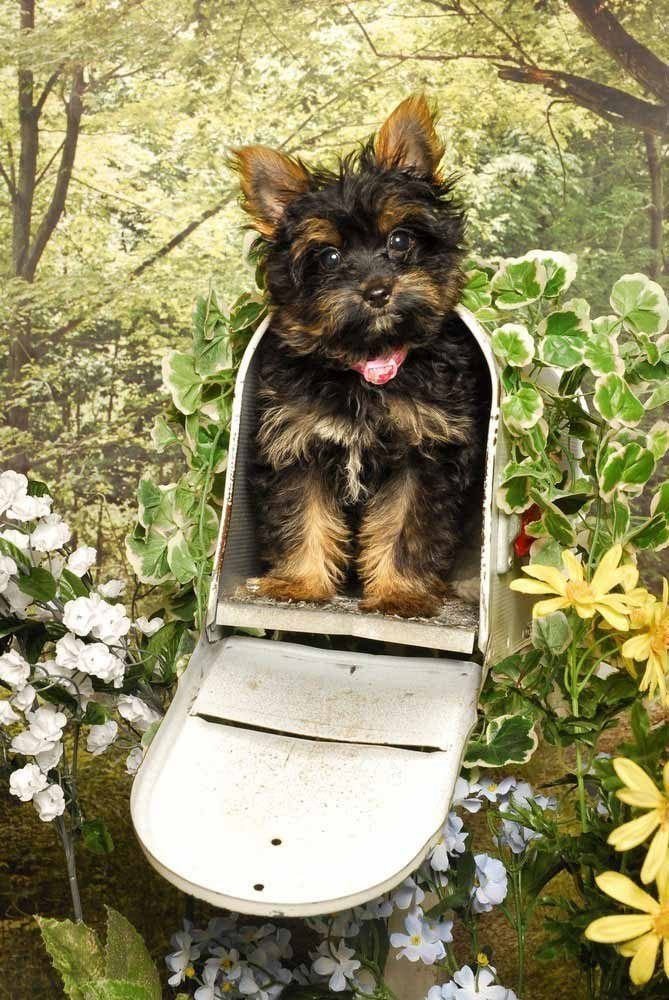 yorkie special delivery