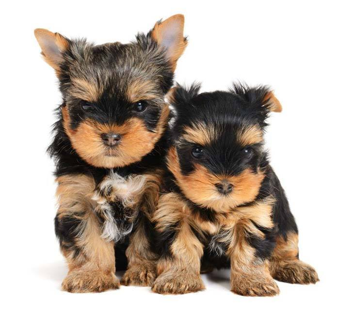 yorkshire terrier puppies wanting a treat