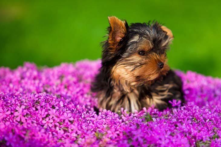 cute yorkie puppy in a beautiful flower field